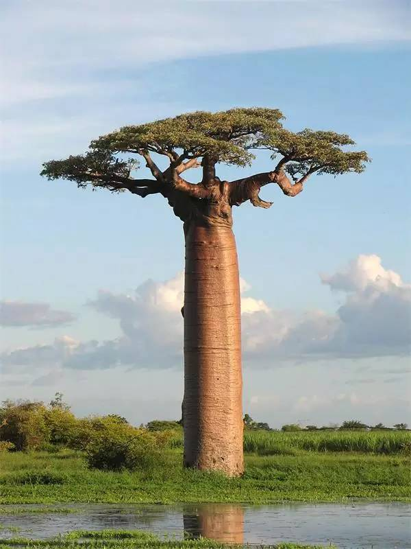 马达加斯加岛上的Adansonia grandidieri 猴面包树一家一共兄弟9个,有6个住在马达加斯加岛,1个住在澳大利亚,2个住在非洲大陆和阿拉伯半岛,其中生活在非洲东部和南部的第九个兄弟到了2012年的时候才从猴面包树群体中被分离出来,单独成立新物种。澳大利亚的兄弟虽然与非洲的兄弟分隔了10万年,但是相貌上几乎没有差别。其中有一棵非常出名,那也是因为巨大的缘故,中空的大树曾在100多年前作为看守所,囚禁过等待审判的嫌犯。